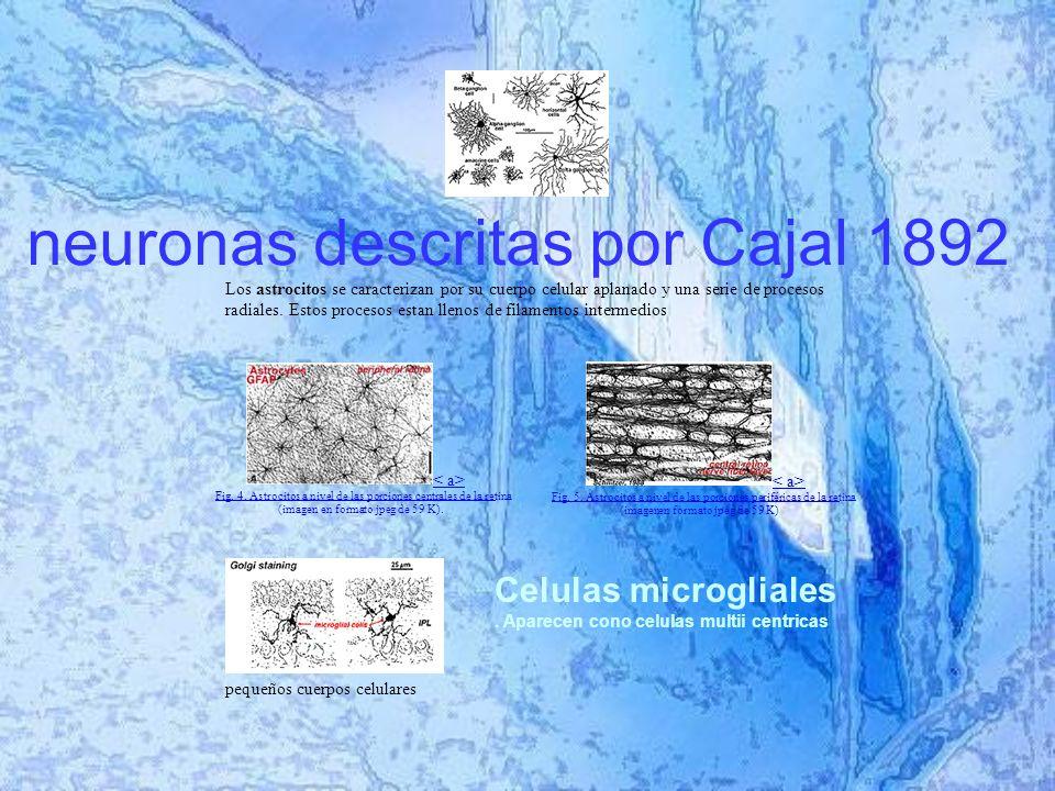 neuronas descritas por Cajal 1892 Los astrocitos se caracterizan por sucuerpo celular aplanado y una serie de procesos radiales.
