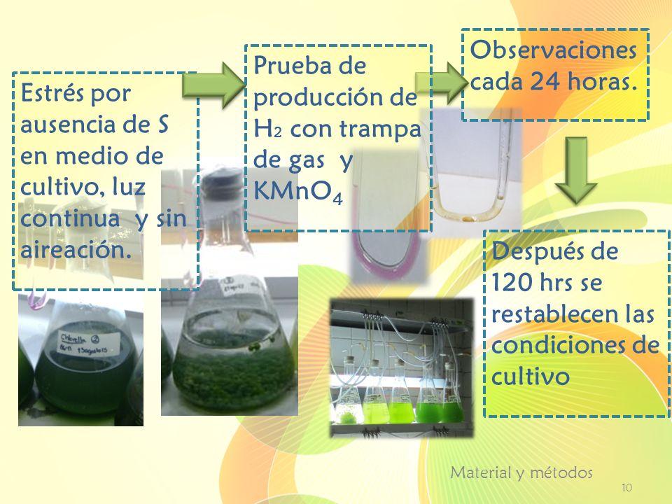 Material y métodos 10 Estrés por ausencia de S en medio de cultivo, luz continua y sin aireación. Observaciones cada 24 horas. Después de 120 hrs se r