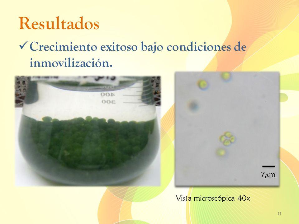 Resultados Crecimiento exitoso bajo condiciones de inmovilización. 11 7 m Vista microscópica 40x