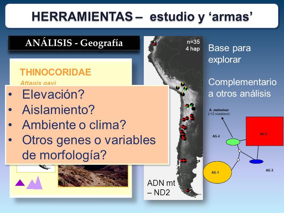 Attagis gayi THINOCORIDAE ? ? ANÁLISIS - Geografía Base para explorar Complementario a otros análisis n=35 4 hap ADN mt – ND2 Elevación? Aislamiento?