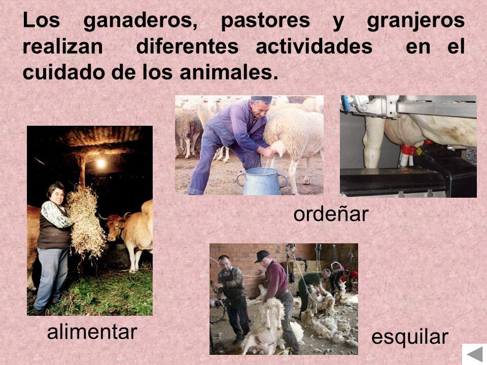 Los ganaderos, pastores y granjeros realizan diferentes actividades en el cuidado de los animales. alimentar ordeñar esquilar