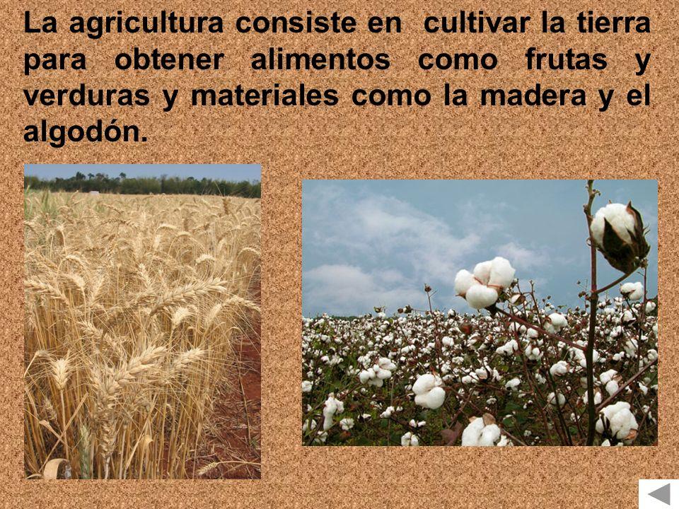 La agricultura consiste en cultivar la tierra para obtener alimentos como frutas y verduras y materiales como la madera y el algodón.