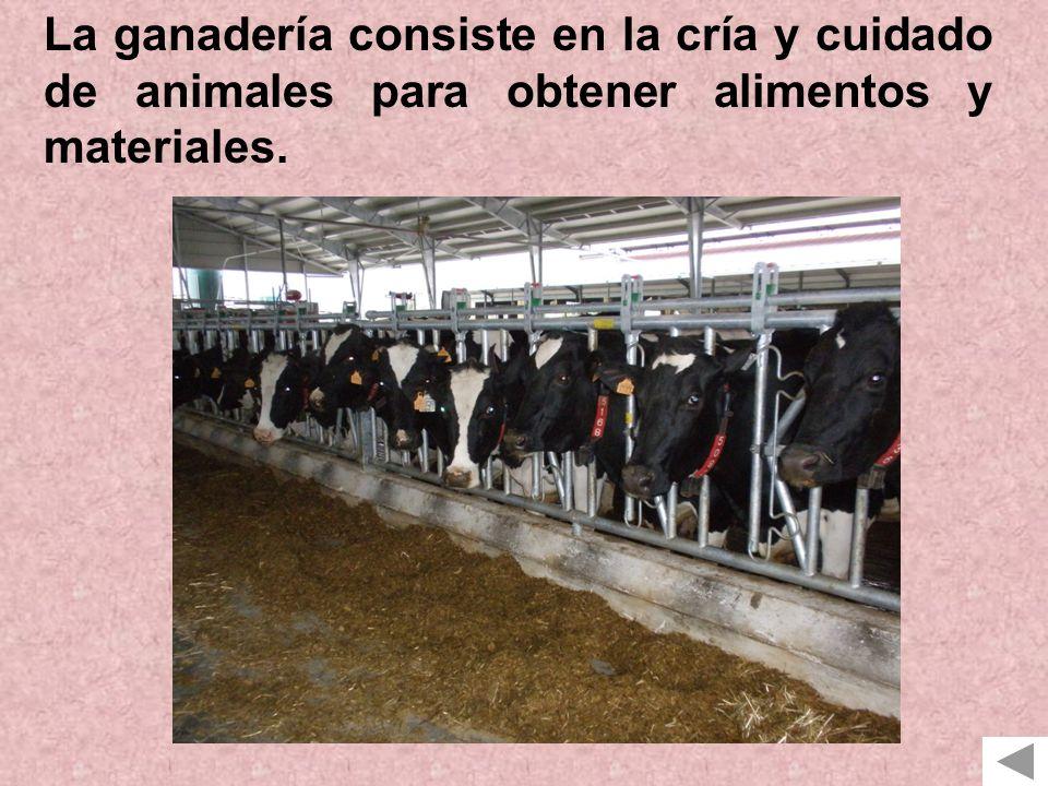 La ganadería consiste en la cría y cuidado de animales para obtener alimentos y materiales.