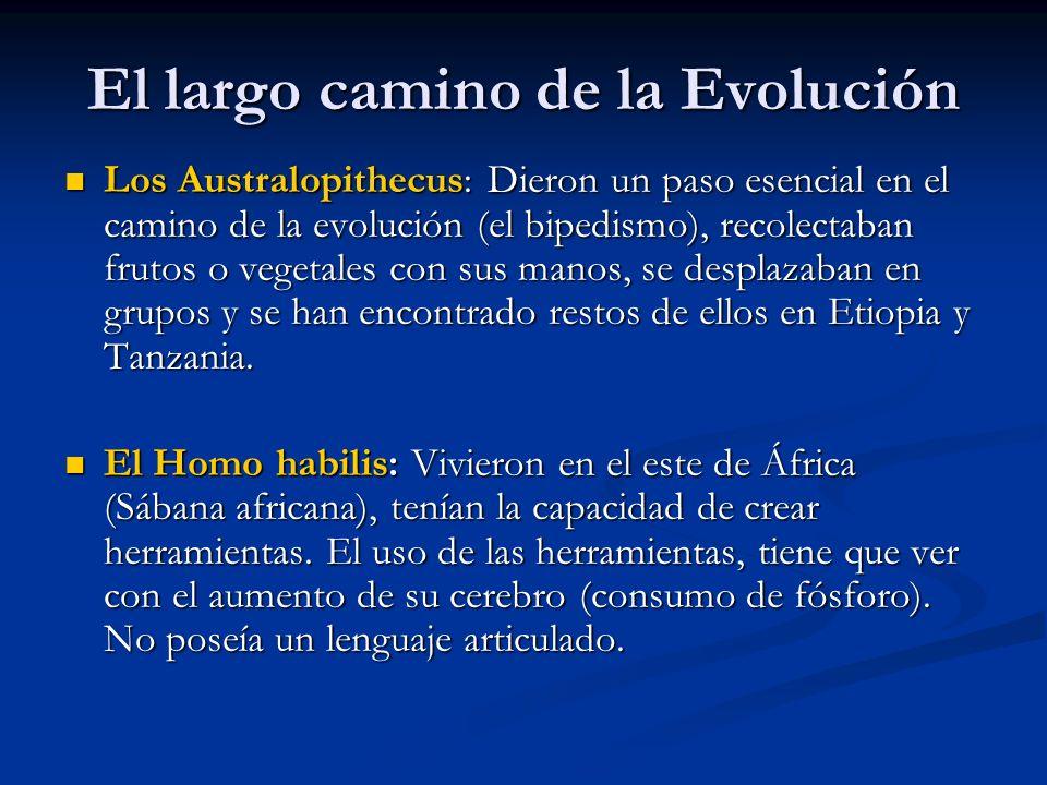 El largo camino de la Evolución Los Australopithecus: Dieron un paso esencial en el camino de la evolución (el bipedismo), recolectaban frutos o vegetales con sus manos, se desplazaban en grupos y se han encontrado restos de ellos en Etiopia y Tanzania.