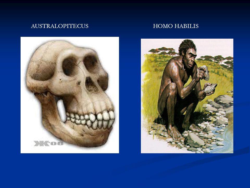 AUSTRALOPITECUSHOMO HABILIS