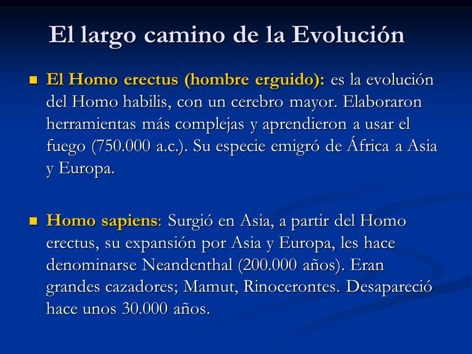 El largo camino de la Evolución El Homo erectus (hombre erguido): es la evolución del Homo habilis, con un cerebro mayor.