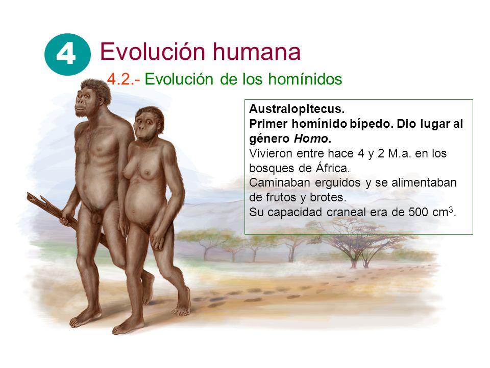 Australopitecus. Primer homínido bípedo. Dio lugar al género Homo. Vivieron entre hace 4 y 2 M.a. en los bosques de África. Caminaban erguidos y se al