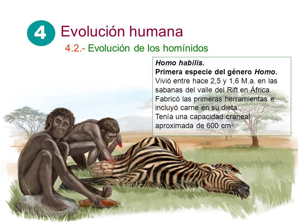 Homo habilis. Primera especie del género Homo. Vivió entre hace 2,5 y 1,6 M.a. en las sabanas del valle del Rift en África. Fabricó las primeras herra