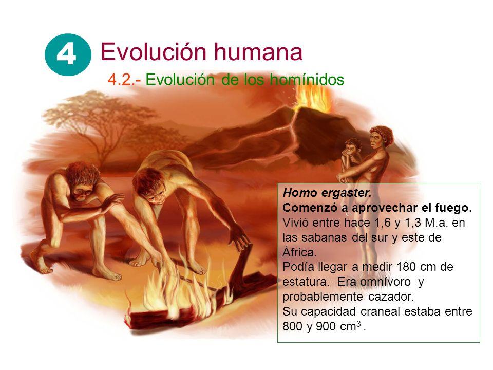 Homo ergaster. Comenzó a aprovechar el fuego. Vivió entre hace 1,6 y 1,3 M.a. en las sabanas del sur y este de África. Podía llegar a medir 180 cm de