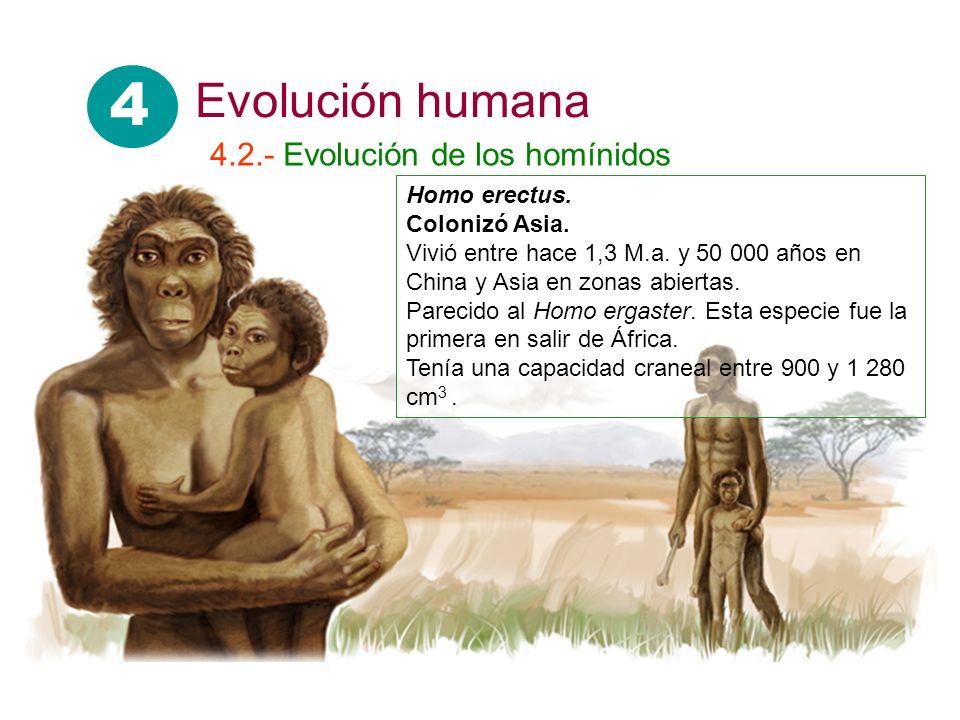 Homo erectus. Colonizó Asia. Vivió entre hace 1,3 M.a. y 50 000 años en China y Asia en zonas abiertas. Parecido al Homo ergaster. Esta especie fue la