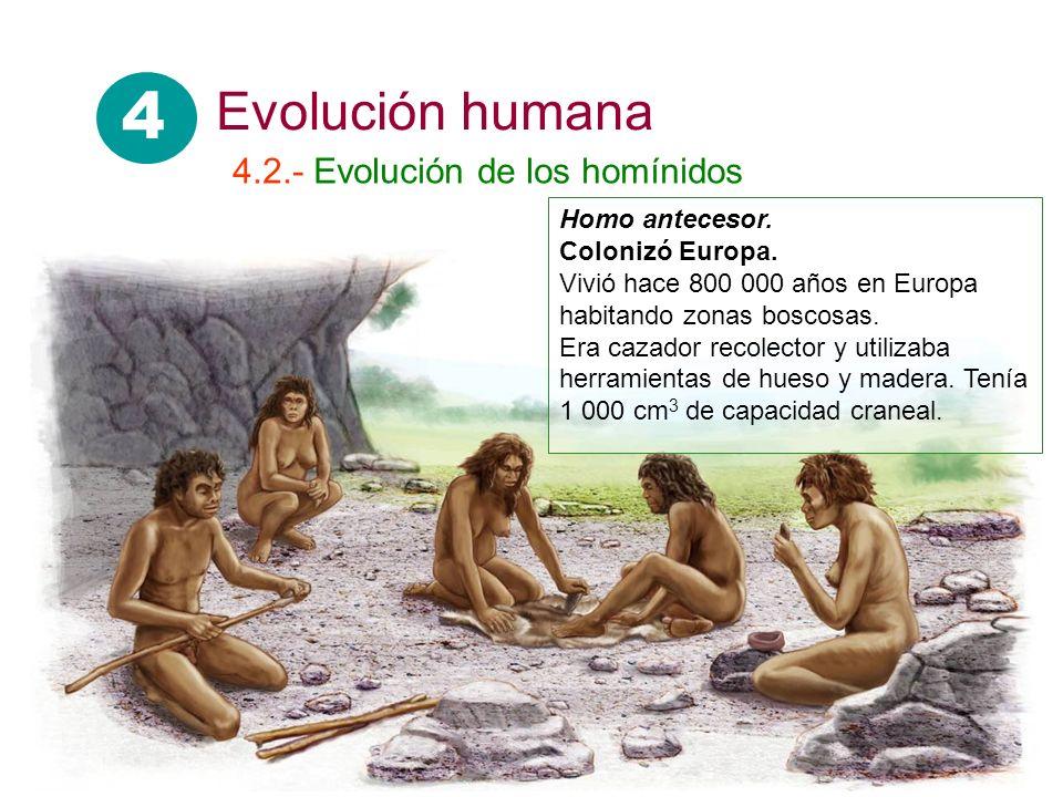 Homo antecesor. Colonizó Europa. Vivió hace 800 000 años en Europa habitando zonas boscosas. Era cazador recolector y utilizaba herramientas de hueso