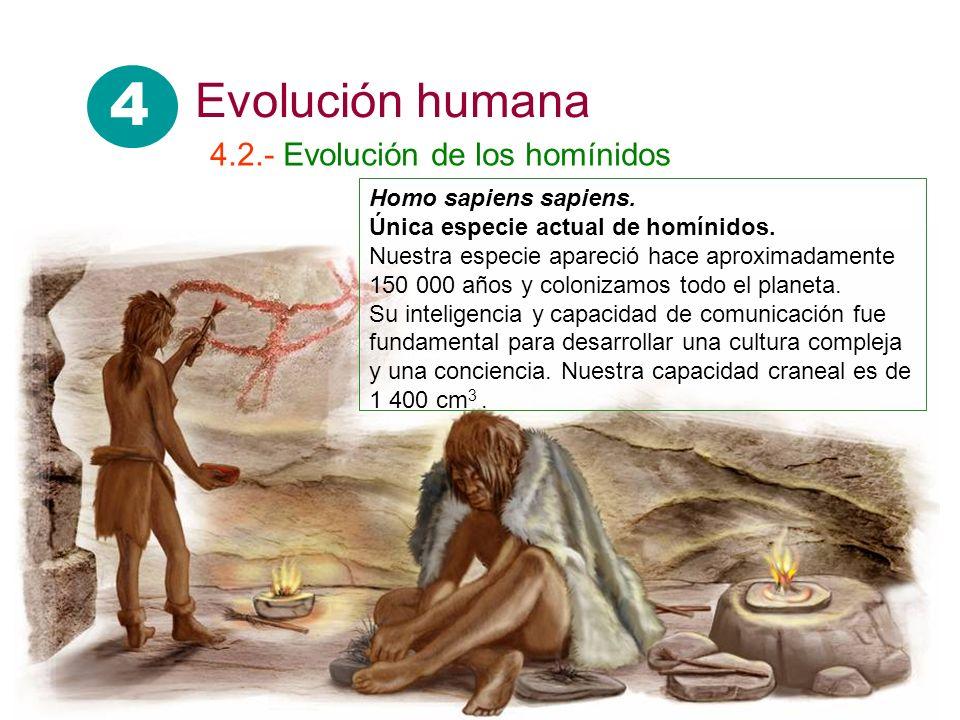 Homo sapiens sapiens. Única especie actual de homínidos. Nuestra especie apareció hace aproximadamente 150 000 años y colonizamos todo el planeta. Su