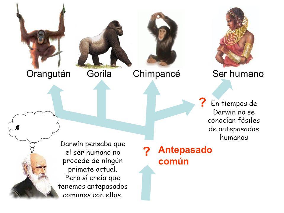 Orangután Gorila Chimpancé Ser humano Antepasado común Darwin pensaba que el ser humano no procede de ningún primate actual. Pero sí creía que tenemos