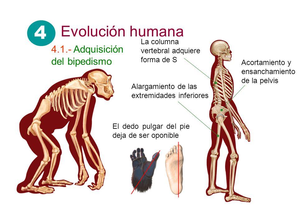 Alargamiento de las extremidades inferiores Acortamiento y ensanchamiento de la pelvis La columna vertebral adquiere forma de S El dedo pulgar del pie deja de ser oponible 4 Evolución humana 4.1.- Adquisición del bipedismo