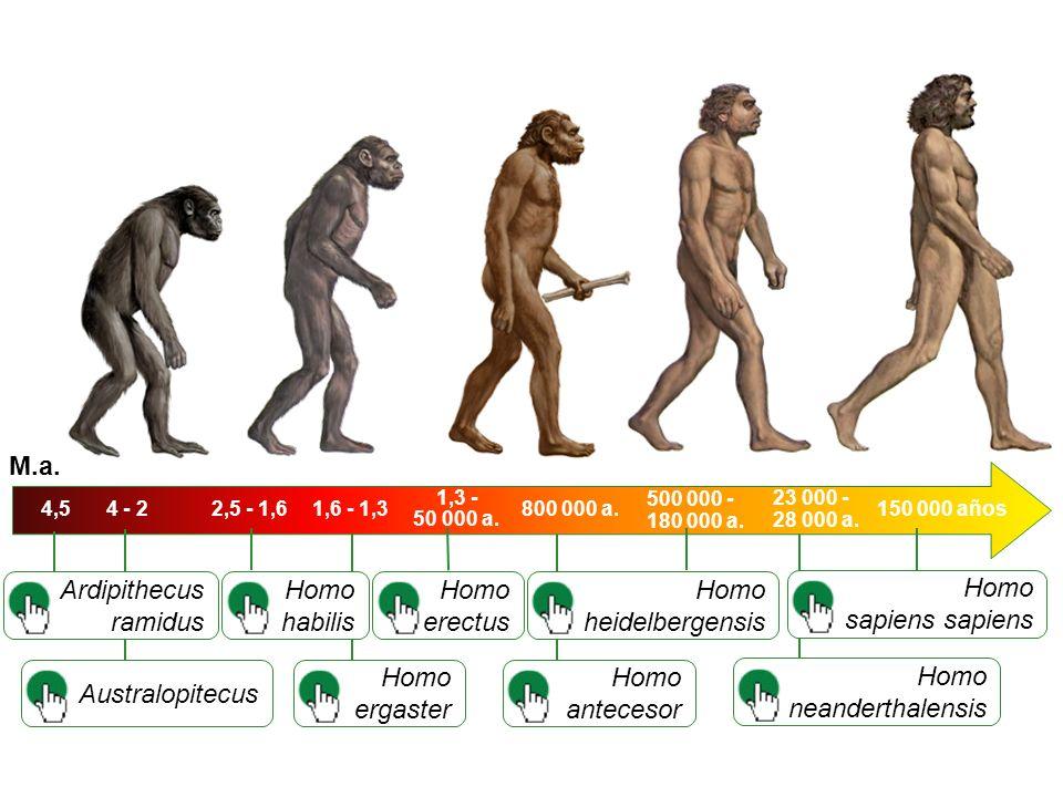 Australopitecus Homo habilis 4,5 Ardipithecus ramidus Homo ergaster Homo erectus Homo antecesor Homo heidelbergensis Homo neanderthalensis Homo sapiens 4 - 22,5 - 1,61,6 - 1,3 M.a.