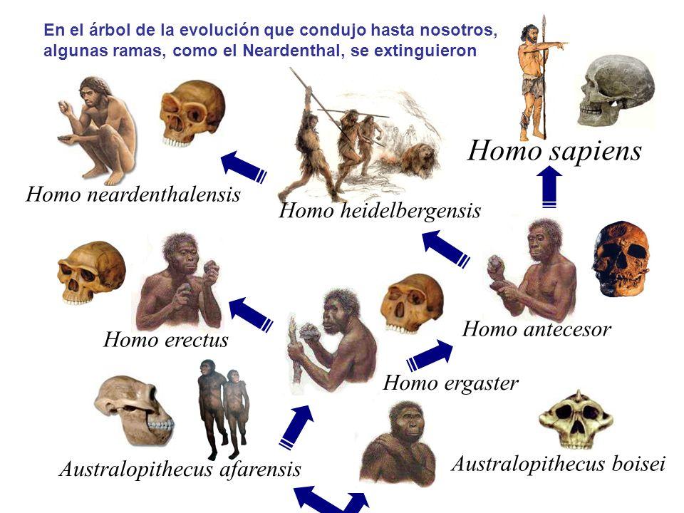Homo ergaster Homo erectus Australopithecus boisei Homo antecesor Homo sapiens Homo heidelbergensis Homo neardenthalensis Australopithecus afarensis En el árbol de la evolución que condujo hasta nosotros, algunas ramas, como el Neardenthal, se extinguieron