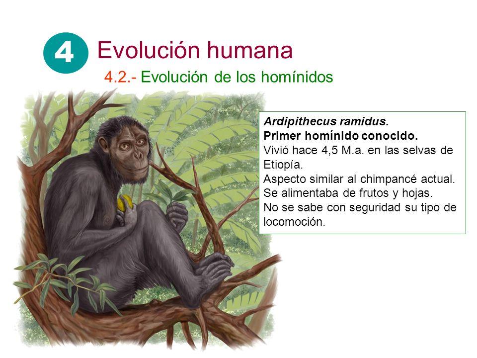 4 4.2.- Evolución de los homínidos Ardipithecus ramidus. Primer homínido conocido. Vivió hace 4,5 M.a. en las selvas de Etiopía. Aspecto similar al ch