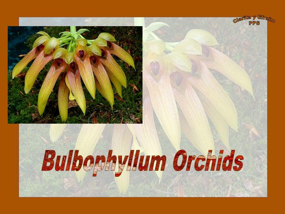 Illustration of Bulbophyllum comosum Date1893 Curtis s Botanical Magazine