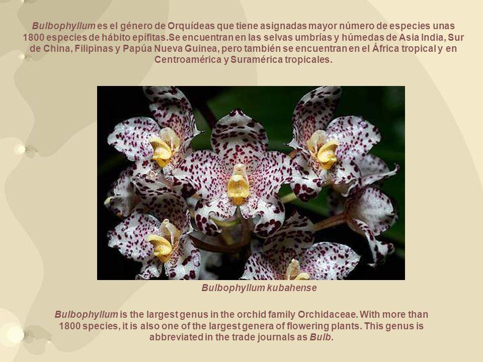 Bulbophyllum es el género de Orquídeas que tiene asignadas mayor número de especies unas 1800 especies de hábito epífitas.Se encuentran en las selvas umbrías y húmedas de Asia India, Sur de China, Filipinas y Papúa Nueva Guinea, pero también se encuentran en el África tropical y en Centroamérica y Suramérica tropicales.