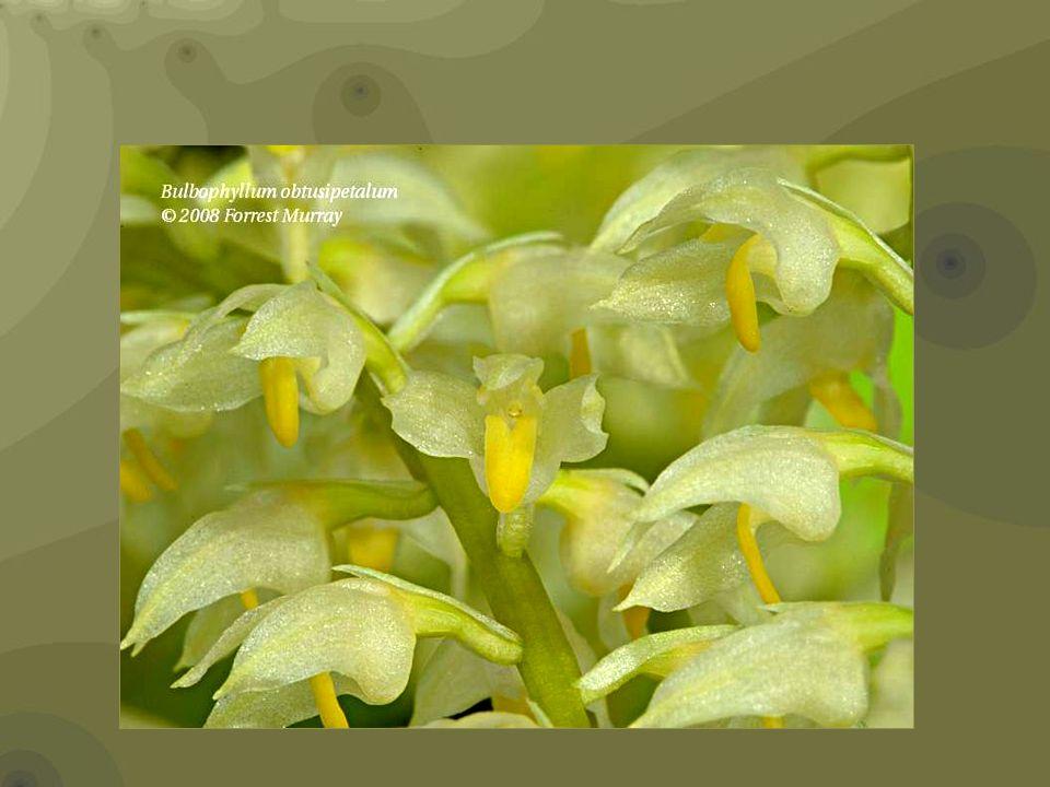 Bulbophyllum repens Bulbophyllum singaporeanum multiple flowers very smalls about 1 cm.