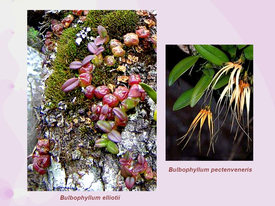 Bulbophyllum elliotii Bulbophyllum pectenveneris