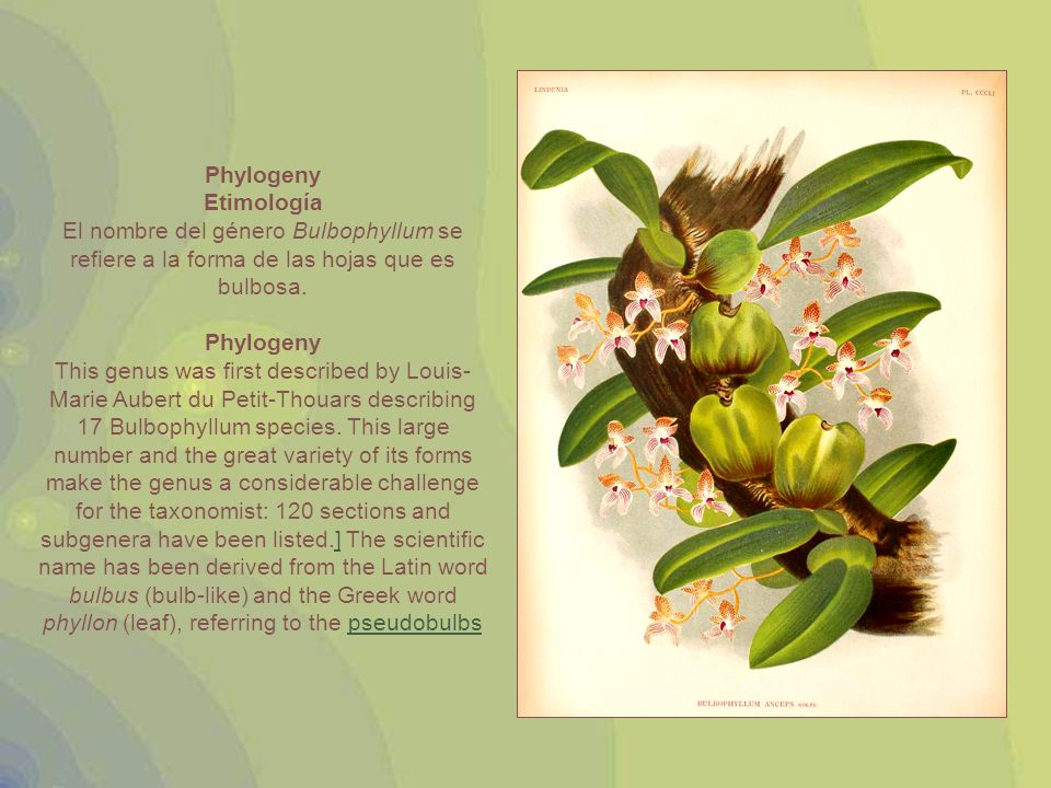 Bulbophyllum nocturnum was recently discovered on the island of New Britain (part of Papua New Guinea) and is the first known orchid with flowers that consistently open at night and close during the day.