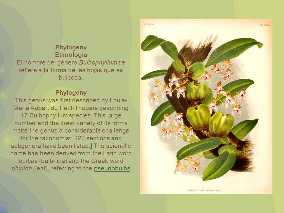 Illustration of Bulbophyllum biflorum Date1910