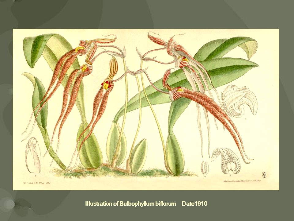 Illustration of Bulbophyllum biflorum Date1910