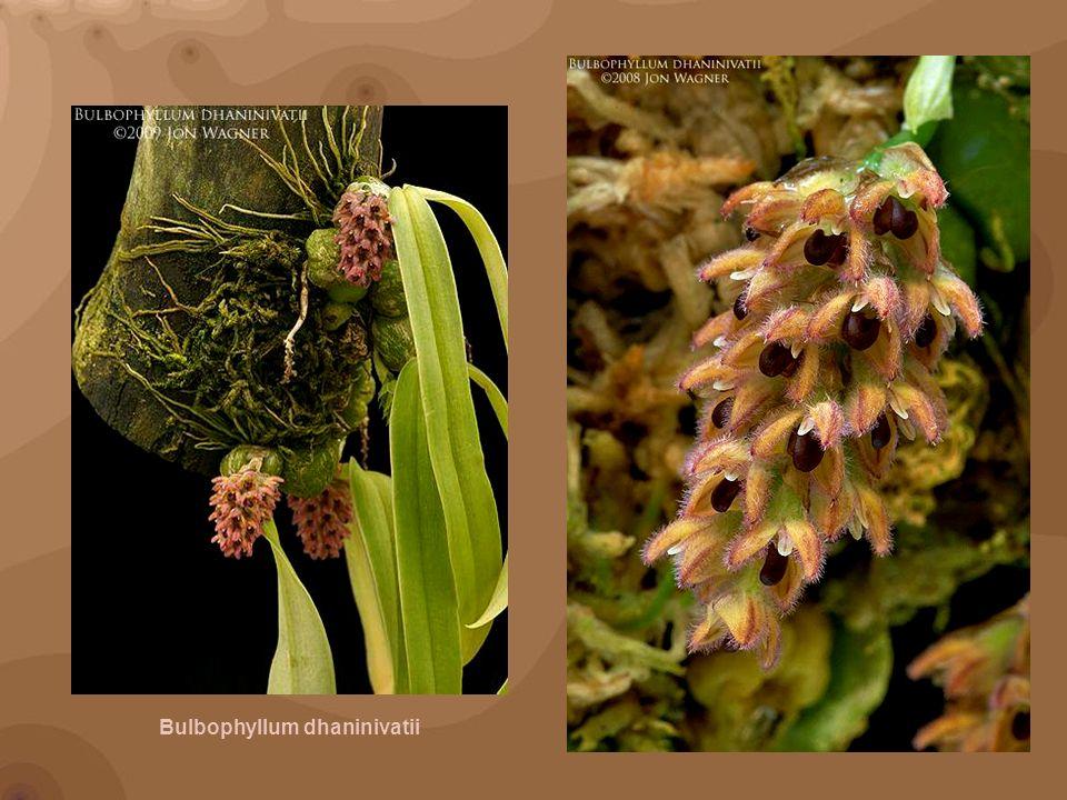 Bulbophyllum beccarii, Rimba Ilmu Botanic Garden, Kuala Lumpur, Malaysia.