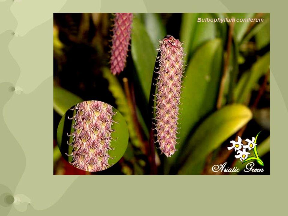 El género Bulbophyllum es el mayor de la familia Orchidaceae con más de 1800 especies reconocidas.