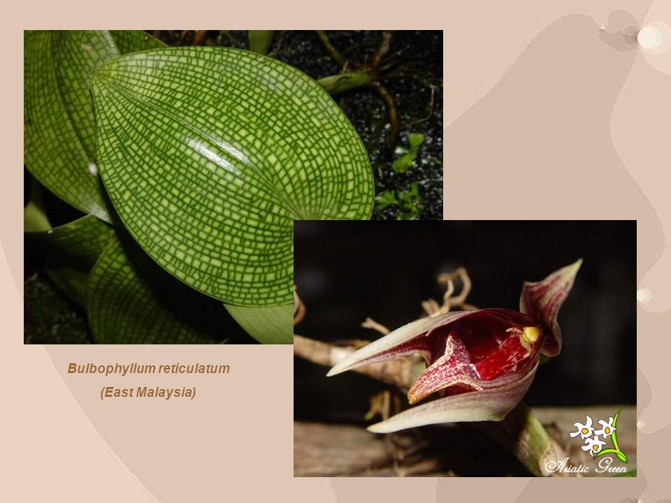 This strange looking orchid also known as The Feathery Bulbophyllum.