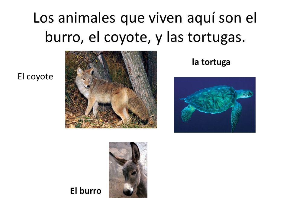 Los animales que viven aquí son el burro, el coyote, y las tortugas. El burro El coyote la tortuga