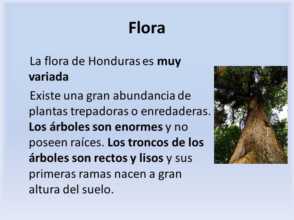 Flora La flora de Honduras es muy variada Existe una gran abundancia de plantas trepadoras o enredaderas. Los árboles son enormes y no poseen raíces.