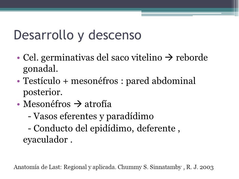Desarrollo y descenso Cel. germinativas del saco vitelino reborde gonadal. Testículo + mesonéfros : pared abdominal posterior. Mesonéfros atrofía - Va