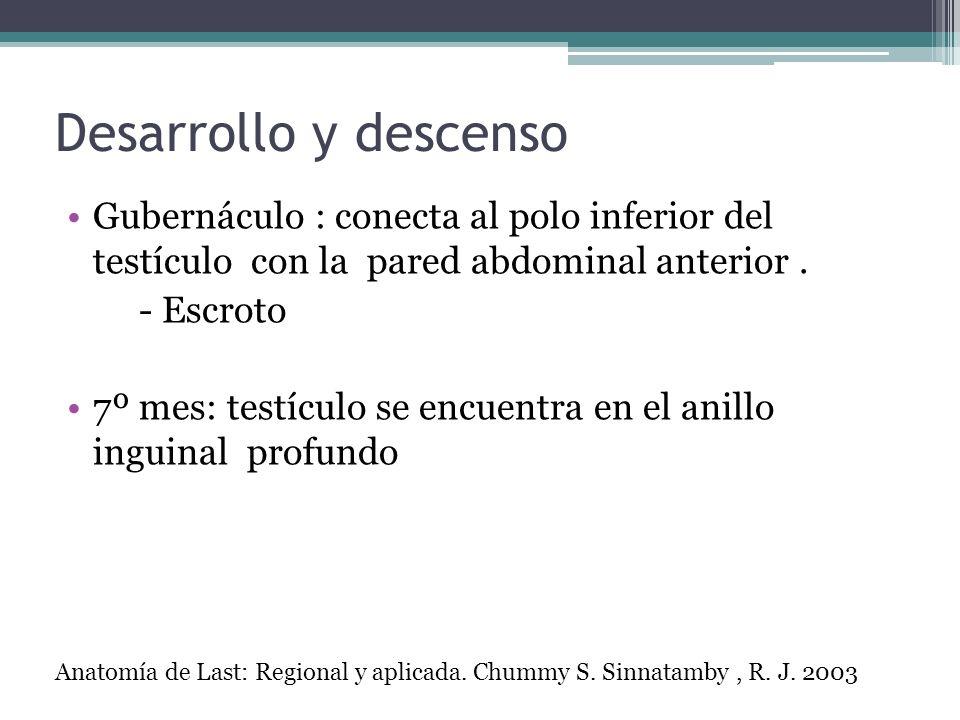 Desarrollo y descenso Gubernáculo : conecta al polo inferior del testículo con la pared abdominal anterior. - Escroto 7º mes: testículo se encuentra e