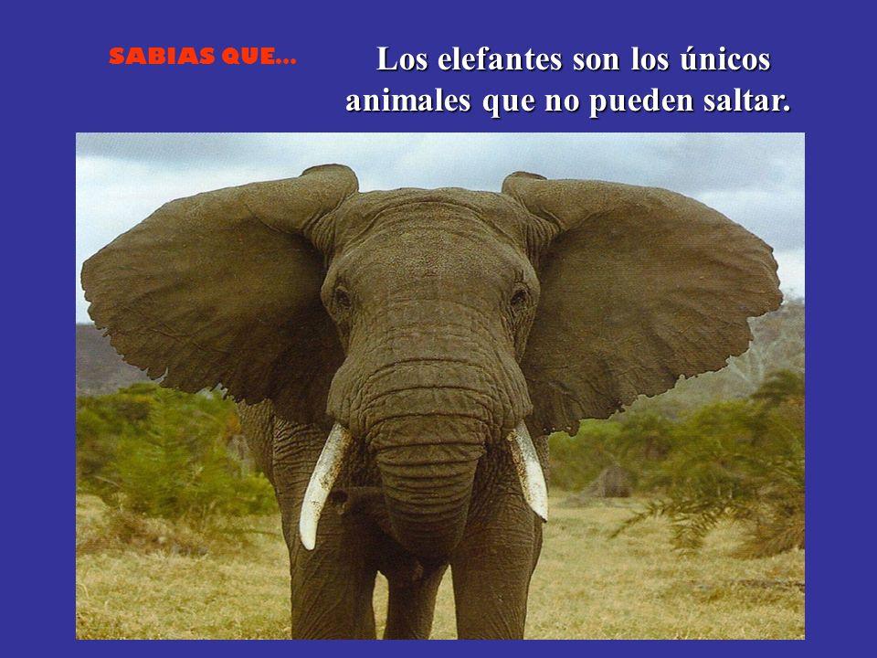 SABIAS QUE… Los elefantes son los únicos animales que no pueden saltar.