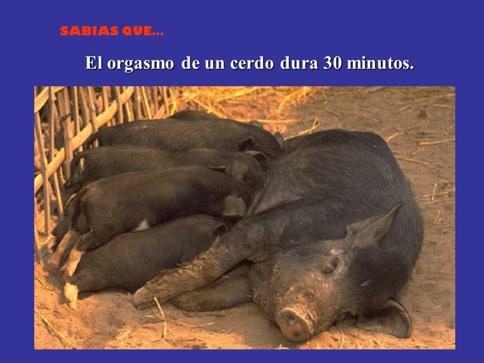 SABIAS QUE… El orgasmo de un cerdo dura 30 minutos.