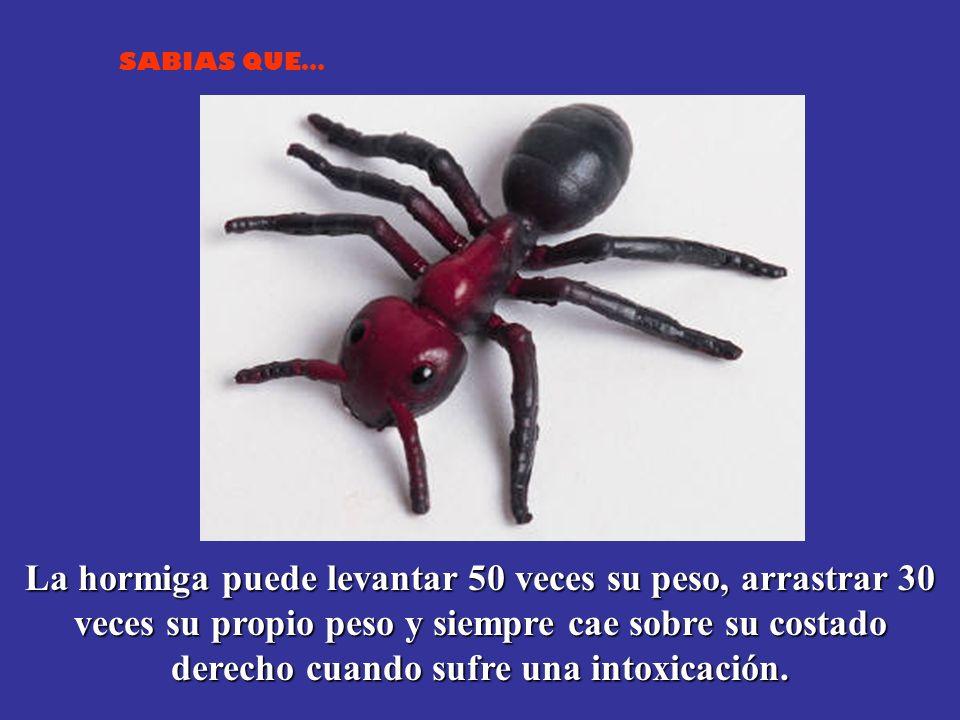 SABIAS QUE… La hormiga puede levantar 50 veces su peso, arrastrar 30 veces su propio peso y siempre cae sobre su costado derecho cuando sufre una intoxicación.