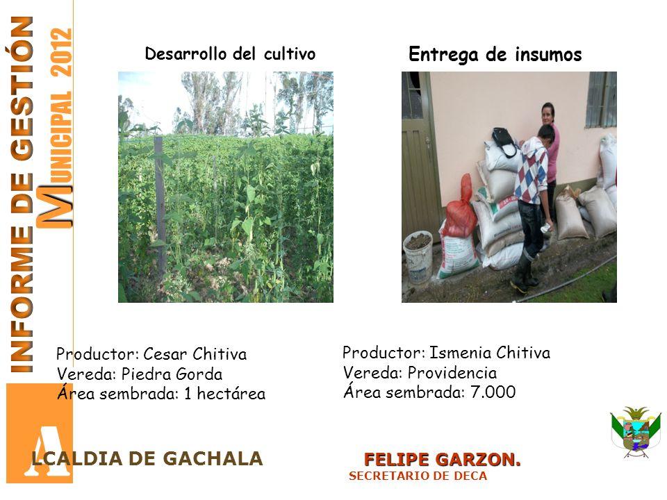 M M UNICIPAL 2012 A FELIPE GARZON. LCALDIA DE GACHALA FELIPE GARZON. SECRETARIO DE DECA Desarrollo del cultivo Entrega de insumos Productor: Cesar Chi