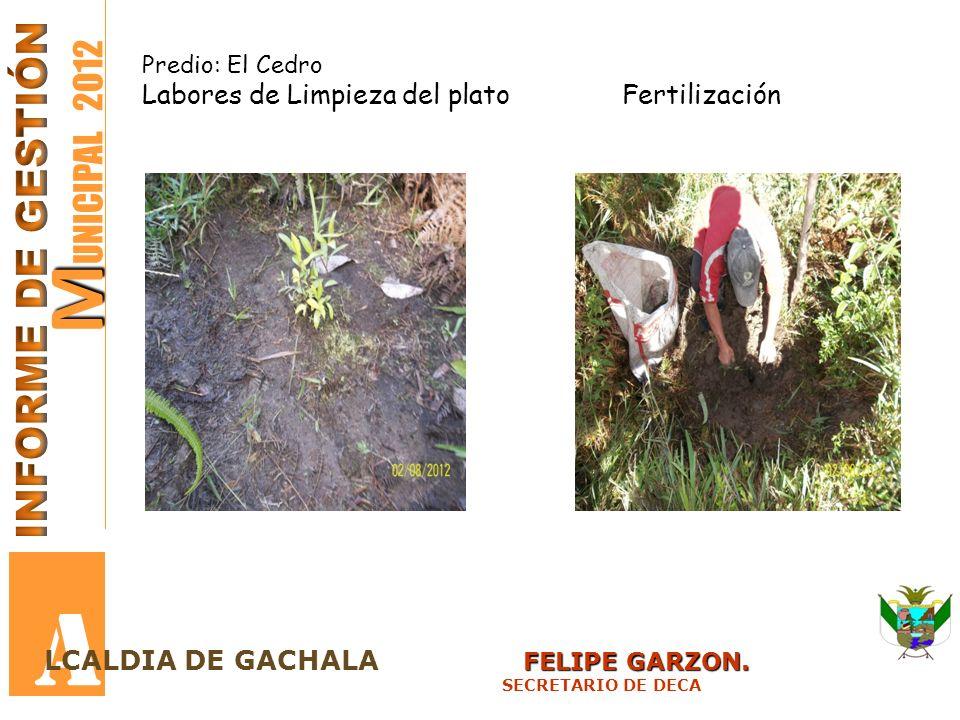 M M UNICIPAL 2012 A FELIPE GARZON. LCALDIA DE GACHALA FELIPE GARZON. SECRETARIO DE DECA Predio: El Cedro Labores de Limpieza del plato Fertilización