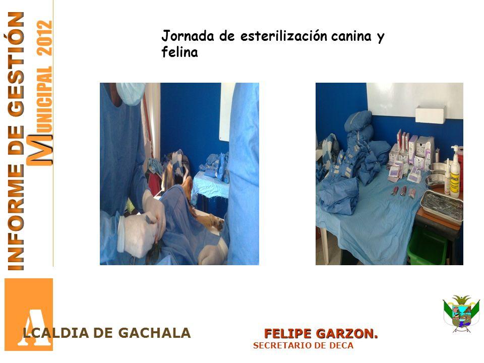 M M UNICIPAL 2012 A FELIPE GARZON. LCALDIA DE GACHALA FELIPE GARZON. SECRETARIO DE DECA Jornada de esterilización canina y felina