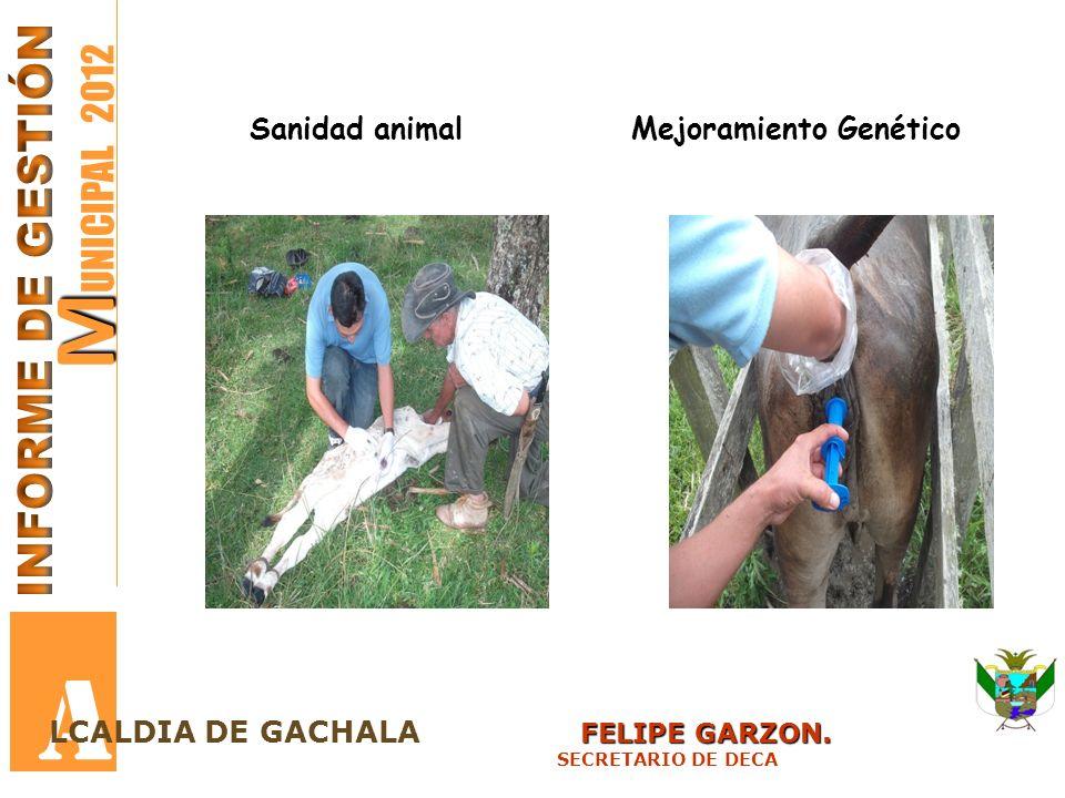 M M UNICIPAL 2012 A FELIPE GARZON. LCALDIA DE GACHALA FELIPE GARZON. SECRETARIO DE DECA Sanidad animalMejoramiento Genético