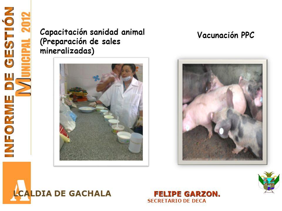 M M UNICIPAL 2012 A FELIPE GARZON. LCALDIA DE GACHALA FELIPE GARZON. SECRETARIO DE DECA Capacitación sanidad animal (Preparación de sales mineralizada