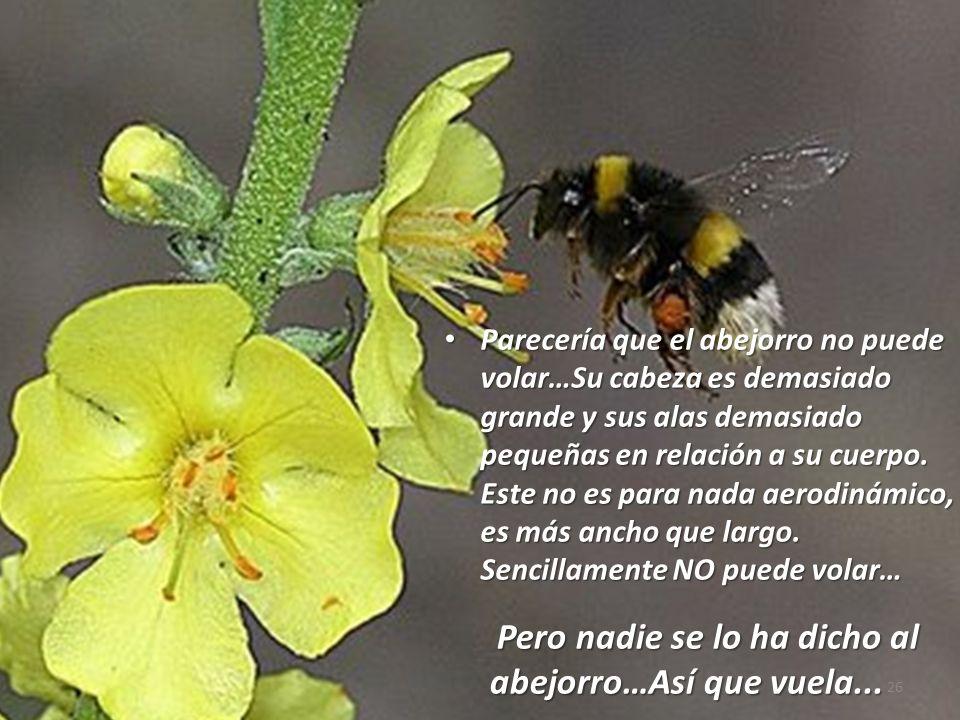 Parecería que el abejorro no puede volar…Su cabeza es demasiado grande y sus alas demasiado pequeñas en relación a su cuerpo. Este no es para nada aer