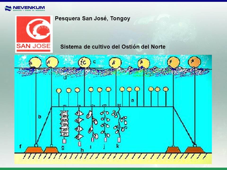 Pesquera San José, Tongoy Sistema de cultivo del Ostión del Norte