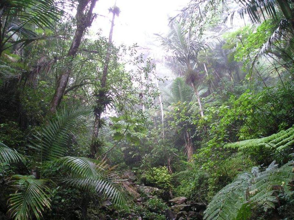 El bosque nacional El Yunque o simplemente El Yunque (antes llamado bosque nacional del Caribe ) es un bosque lluvioso localizado en Puerto Rico. El Y