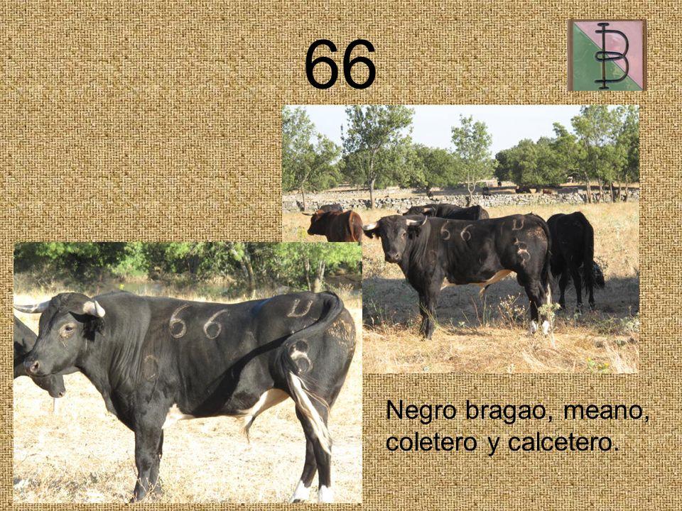 66 Negro bragao, meano, coletero y calcetero.