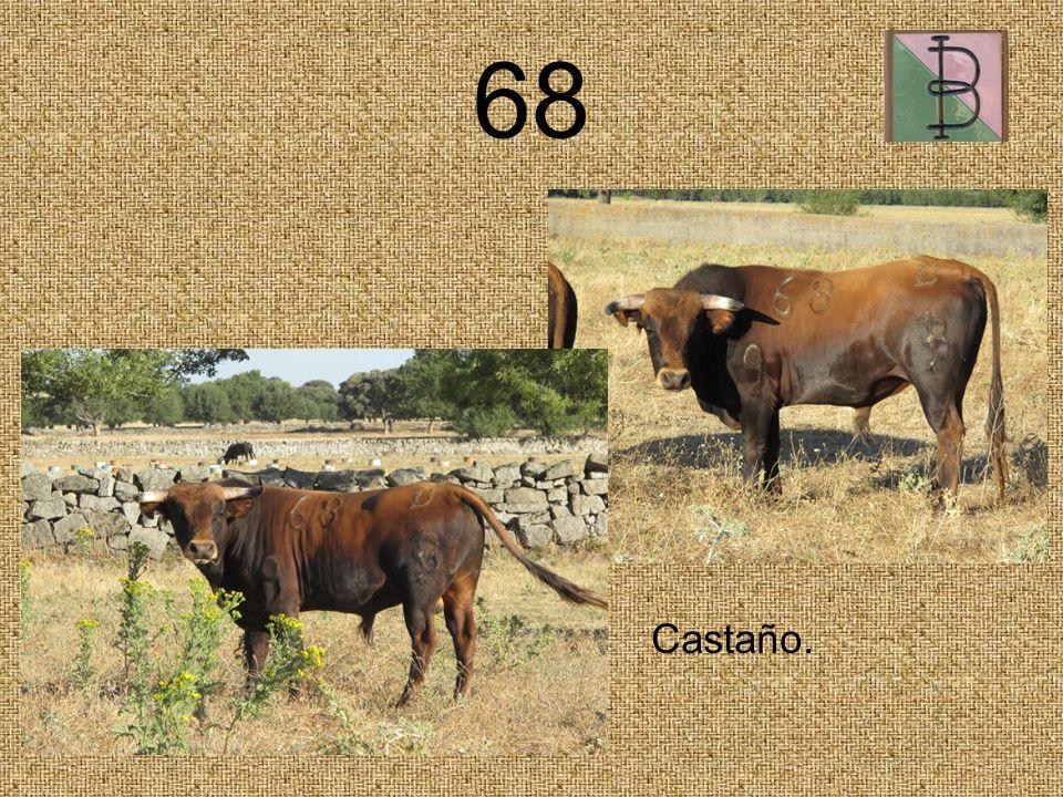 68 Castaño.