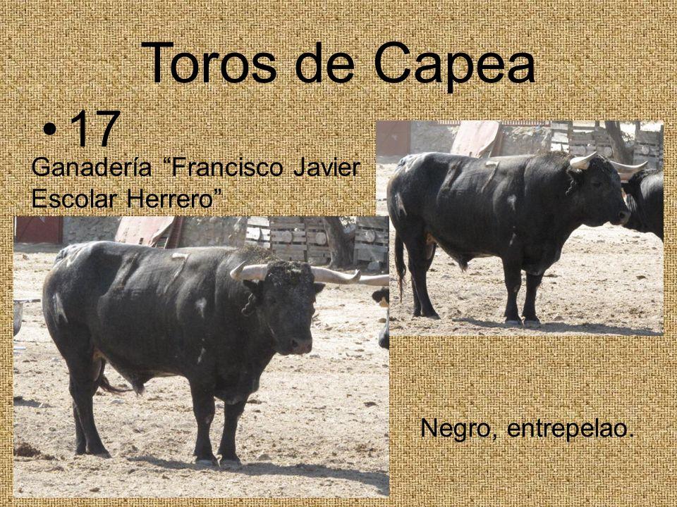 Toros de Capea 17 Ganadería Francisco Javier Escolar Herrero Negro, entrepelao.