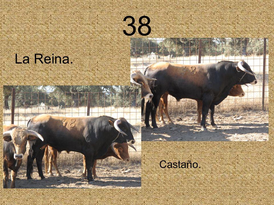 38 Castaño. La Reina.